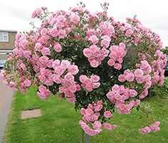 BONICA - Bareroot Weeping Full Standard Rose - Small Pale Pink Blooms: Amazon.co.uk: Garden & Outdoors