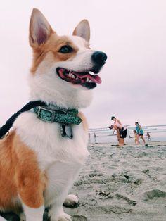 Corgis are my #1 fav dog