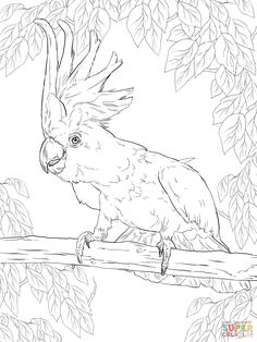 Sulphur Crested Cockatoo Coloring Page From Cockatoos Category Find This Pin And More