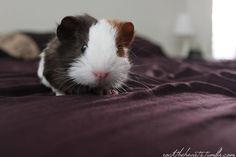 guinea pig cutie
