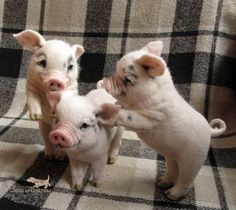 Such cute piglets Cute Baby Pigs, Cute Piglets, Cute Babies, Baby Piglets, Baby Animals Pictures, Cute Animal Photos, Cute Little Animals, Cute Funny Animals, Felt Animals
