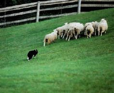 Reasons to get a border collie: Reason two: They'll keep your farm animals in order! Keeping the animals VERY fit.