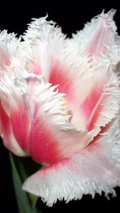 "Parrot Tulip -- ""Look! These are the fringes of his ways and what a whisper of a matter has been heard of him!"" (speaking of Jehovah the Creator)"