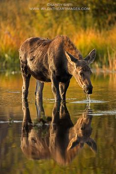 If you're driving the roads of Northern Maine this month or next, be very careful to watch out for moose.  It's prime season for collisions!  |  ~~Autumn Reflection by Sandy Sisti-Wild at Heart Images ~ moose~~