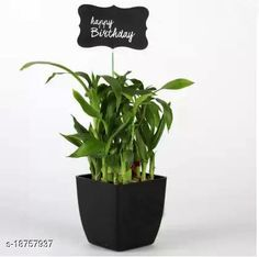Checkout this latest Indoor Plants Product Name: *Two Layer Lucky Bamboo In Black Pot with Happy Birthday Tag* Material: Plastic Pack: Pack of 1 Product Length: 5 Inch Product Breadth: 5 Inch Product Height: 6 Inch Country of Origin: India Easy Returns Available In Case Of Any Issue   Catalog Rating: ★4.2 (1090)  Catalog Name: Unique Indoor Plants CatalogID_3833710 C133-SC1606 Code: 913-18757937-558