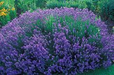 Keeping your Lavender Blooming all season long by giving a flowering plant fertilizer once a month. #yearofthelavender