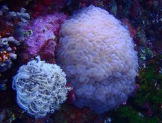 I found this #Bubblecoral #diving #Penga Island