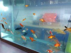 Los peces fomentan la convivencia con otros seres vivos...indispensables en todo laboratorio escolar