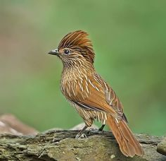 Striated laughingthrush The striated laughingthrush (Garrulax striatus) is a bird species in the family Leiothrichidae. Kinds Of Birds, All Birds, Cute Birds, Pretty Birds, Beautiful Birds, Animals Beautiful, Exotic Birds, Colorful Birds, Bird Pictures