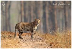 This winter let's #GoWild and witness the beautiful #WildCats at #NagaraholeNationalPark, #Karnataka