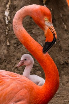 First flamingo fluff of the season has hatched at the San Diego Zoo. Keep your eyes peeled for our tiny new greeters. Beautiful Birds, Animals Beautiful, Cute Animals, Baby Animals, Flamingo Pictures, Flamingo Photo, Flamingo Wallpaper, Flamingo Painting, African Grey Parrot