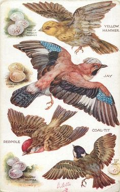 Postcard based on the original painting by M. Bird Illustration, Illustrations, Vintage Images, Vintage Art, Coal Tit, Bird Artwork, Fauna, Bird Prints, Beautiful Birds