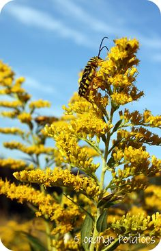 Free printable goldenrod learning packet, medicinal uses and recipes, history of goldenrod in the U.S.