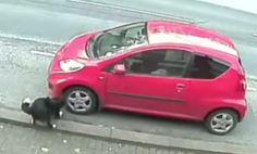 Dog Hit By Car Seeks Revenge On All Vehicles (Video)