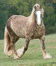 Silver Chocolate Dappled Draft Horse. Mark Barrett