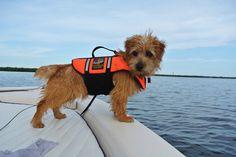 Norfolk Terrier 'Valentino'