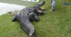 Meet 'Big Tex,' the Largest Alligator Ever Caught Live in Texas - Wide Open Spaces