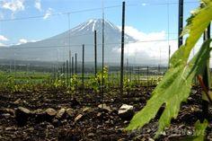 富士山ワイナリー(c)Fujisan Winery ▼1Jul2014AFP|日本料理との絶妙なマリアージュ、富士山ワイナリーの「Shizen」ワインに世界が注目 http://www.afpbb.com/articles/-/3019400 #Shizen