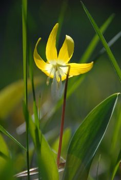 Glacier Lily photo by eve