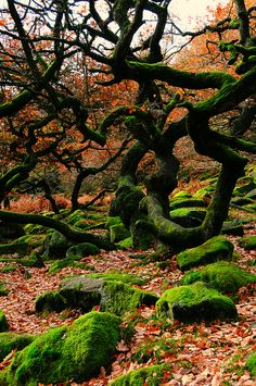 Twisted trees and mossy rocks at Padley Gorge, Derbyshire