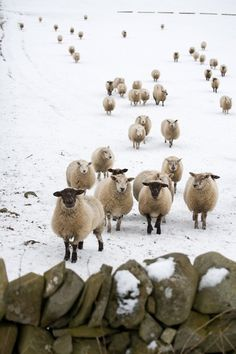 Winter Sheep by sweet.dreams