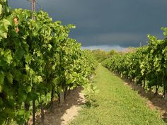 Grapes on Pelee Island Windsor Ontario, Wander, Beautiful Homes, Summertime, Vineyard, Country Roads, Canada, Earth, Island
