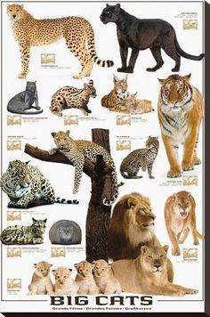 - Each poster features a unique design or picture - A wide variety of themes to choose from - Scientific posters, animal posters, and even technological posters - Extremely detailed with information a Cat Posters, Animal Posters, Beautiful Cats, Animals Beautiful, Big Cat Species, Animals And Pets, Cute Animals, Cat Stretching, Gato Grande