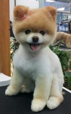Source by MaruGLP The post Absolutely perfect Teddy Bear Pom! appeared first on Sellers Canines. Pomeranian Teddy Bear Cut, Teddy Bear Dog, Cute Pomeranian, Pomeranian Haircut, Bear Dog Breed, Dog Breeds, Bear Dogs, Cute Puppies, Cute Dogs