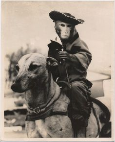 Monkey Jockey Riding Dog, c. 1950's  In 1930 Loretta and Charles David of Miami, Florida conceived of the idea of using monkey jockeys in Greyhound races. Twelve infant Capuchin monkeys imported from Panama were raised with twelve Greyhound puppies, so that they would form close bonds. After two years of maturing together and intensive training, they were ready for the track.
