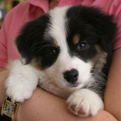 Awww, Aussie puppy.....