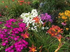 Volcano phlox White, Ruby and Purple contrasted with rudbeckia and daylilies make a lovely display of easy-care color!