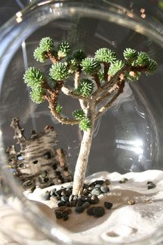 """Sedum multiceps, affectionately referred to as the Pygmy Joshua Tree"""