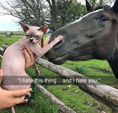 """""""I hate this thing... and I hate you."""" Sphynx cat meets horse... Tastefully Offensive on Tumblr, """"We hates it, we hates it!"""" (via cairosphynx)"""