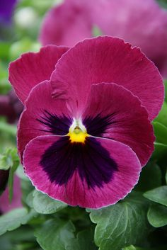 another beautiful pansy | Flickr - Photo Sharing!