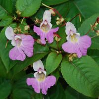 Impatiens balfourii, Balfour's touch-me-not, Poor man's orchid, Kashmir balsam. seeds from plant-world-seeds.com