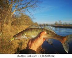 Zander Spining River Fishing: zdjęcie stockowe (edytuj teraz) 1862784382 Fishing, River, Image, Peaches, Rivers, Pisces, Gone Fishing