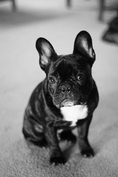 Ozzy the Frenchie photo by Elaine Dudzinski #frenchbulldog #frenchie