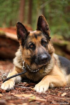 German Shepherd photo by Yamin Bilal / Happy Paws Photography.