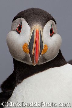 """Atlantic-Puffin-vertical-portrait- The Atlantic Puffin (Fratercula arctica, Macareux moine, ATPU) is a seabird species in the auk family. Also know as """"common puffin"""", """"clown of the ocean"""", """"clown of the sea"""" and """"sea parrot"""", these squat little pelagic birds look comically awkward on land and rather heavy in the air, but once in their element, the water, they become able predators.Fratercula-arctica-Macareux-moine-ATPU-CDODDS- _74F0949N 