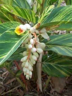 Alpinia zerumbet cv. Variegata - variegated shell ginger - what a cool plant!