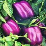 Lilac Bell Pepper Plants