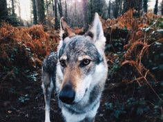 Czechoslovkian Wolfdog . Not an actual wolf-dog mix, but a purebred dog bred to look wolfish .