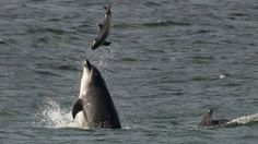 A whale and dolphin-watcher has photographed an attack by a bottlenose dolphin on a porpoise off Aberdeen.