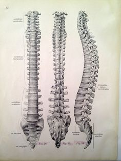 Vintage Anatomy Print - Antique Vertebrae Drawing via Etsy ~~~~~~~~~~~~~~~~~~~~~~~~~~~~~~~~~ In case you only need a picture of the spine Anatomy Study, Body Anatomy, Anatomy Drawing, Anatomy Reference, Anatomy Bones, Human Anatomy Art, Human Spine, Human Body, Spine Drawing