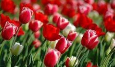 Red tulips - flowers, beautiful, tulips, field, pretty, red, macro, garden