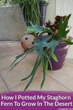 Staghorn Ferns are native to the tropics. See how I potted my staghorn fern to grow in the desert – a gardening challenge I accept! A video guides you through.