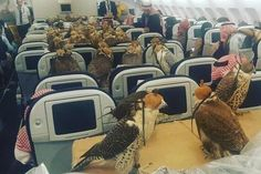"""A photo has emerged online of 80 birds of prey sitting in a plane after they were bought tickets by a Saudi prince. The bizarre image shows the hooded animals dotted around the cabin among passengers, each bird seemingly tied securely down to the seats. Members of the cabin crew are shown looking on, impassively. Reddit user lensoo posted it online, writing: """"My captain friend sent me this photo. Saudi prince bought ticket for his 80 hawks."""""""
