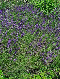 Aspecte general de l'espígol (Lavandula angustifolia)