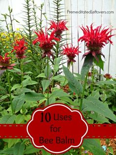 10 Ways to Use Bee Balm and Bee Balm Bread Recipe