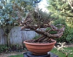 Old Bonsai